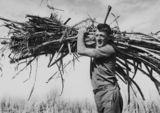 Picture relating to Nambour - titled 'Sugar cane worker carrying a bundle of cut cane at Nambour, Queensland, 1938'