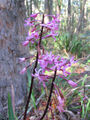 Picture relating to Tallaganda National Park - titled 'Pink Orchid'