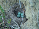 Picture relating to Yass - titled 'Blackbird Nest with Four Eggs'