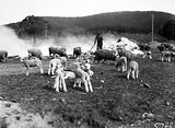 Picture relating to Black Mountain - titled 'Ewes and lambs near Black Mountain'