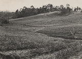Picture of / about 'Montville' Queensland - Pineapple farm at Montville