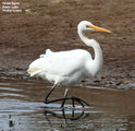 Birds of Victoria - #1 (b) - Phillip Island (Swan Lake & The Nobbies) Great Egret, Swan Lake, Phillip Island, VIC