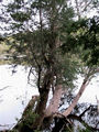 Picture relating to Pieman River - titled 'Pieman River Huon Pine leans out over the water'