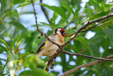 Picture relating to Hamilton - titled 'European Gold Finch at Prospect Villa'