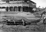 Picture relating to Innisfail - titled 'Saltwater crocodile caught in the town reach of the Johnstone River, Innisfail, ca. 1903'