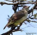 Birds of Victoria - #7(c) – East Gippsland (Mallacoota) Satin Bowerbird (Female), Gipsy Point, VIC