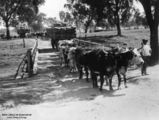 Picture relating to Charleville - titled 'Bullock teams pulling wagons loaded with wool bales at Charleville, ca.1909'