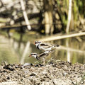 Picture relating to Barcaldine - titled 'mating dotterels'