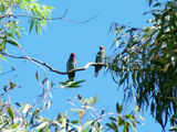 Picture relating to Mount Majura - titled 'Breeding pair of Dollarbirds'