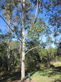 Picture of / about 'Coulson' Queensland - Coulson - Bert Hinkler memorial tree