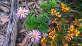 Picture relating to Warrumbungle National Park - titled 'Warrumbungle National Park Wildflowers'