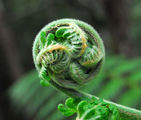 Picture relating to Myrtle Forest - titled 'Opening fern'