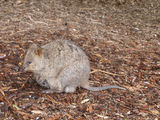 Picture relating to Rottnest Island - titled 'Rottnest Island Quokka'
