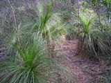 Picture relating to Mount Imlay - titled 'Grass Trees on Mount Imlay Walking Track'