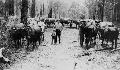 Picture of / about 'Pomona' Queensland - 'Budge' Miner and his son surrounded by their bullock team at Ringtail, Pomona, Queensland, ca. 1895