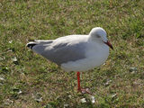 Picture relating to Botany Bay - titled 'Hungry (one-legged) seagull'
