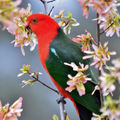 Picture relating to Mittagong - titled 'King parrot'
