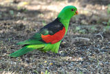 Picture relating to Wondai - titled 'Red Winged parrot at Wondai'