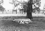 Picture relating to Federal Highway - titled 'Large white sow and suckling piglets at Government hog farm, off the Federal Highway, Watson.'