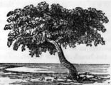 Picture relating to Sweers Island - titled 'Drawing of the 'Investigator' tree on Sweers Island, 1857'