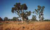 Simpson Desert Magnificent White Ghost Gums