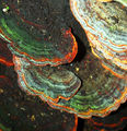 Picture relating to Dorrigo National Park - titled 'Rainbow Fungi'