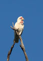 Picture relating to Melton South - titled 'Long-billed corella.'