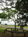 Picture relating to Bargara - titled 'Bert Hinkler Tree'