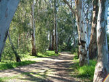Picture relating to Echuca - titled 'River Red Gums'