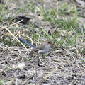 Picture relating to Barcaldine - titled '♀ splendid fairy-wren'