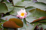 A pretty lily pad flower at Lake Jubilee,Daylesford