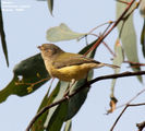 Birds of New South Wales - #4(c) - Murray River Region (Echuca / Moama) Weebill, Horseshoe Lagoon, Moama, NSW