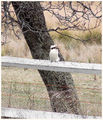 Picture relating to Binda - titled 'Kookaburra - Binda - New South Wales'