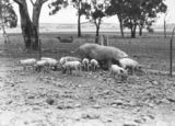 Picture relating to Federal Highway - titled 'Large white sow and piglets at Government hog farm, off the Federal Highway, Watson.'