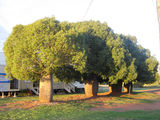 Picture of / about 'Durong South' Queensland - Bottle trees - Durong South