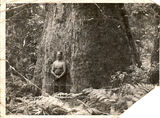 Picture relating to Flaxton - titled 'Ray Plowman beside giant Blackbutt tree, Flaxton, 1947'