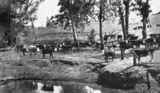 Picture relating to Kilcoy - titled 'Cattle grazing at a waterhole, Kilcoy, 1939'