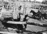 Picture of / about 'Tinnenburra' Queensland - Horses being lassoed for branding, Tinnenburra, ca. 1941