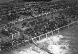 Picture relating to Eidsvold - titled 'Stock impounded at the saleyards, Eidsvold'