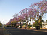 Picture relating to Helidon - titled 'Helidon - Jacaranda trees'