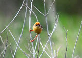 Picture relating to Kooragang Nature Reserve - titled 'Cisticola'
