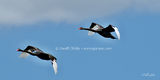 Picture relating to Lake Macquarie - titled 'Lake Macquarie Black Swans in Flight.  Art photo digital download and wallpaper screensaver. DIY Print.'