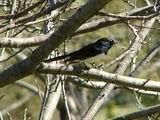 Picture relating to Yass - titled 'Willy Wagtail'