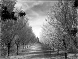 Picture relating to Yarralumla - titled 'Rows of flowering plum trees at Yarralumla Nursery'
