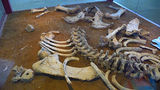 Picture of / about 'Coonabarabran' New South Wales - Megadon Fossilized Skeleton at Coonabarabran Visitors Centre