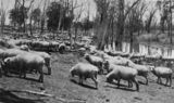 Picture relating to Queensland - titled 'Flock of grazing sheep'