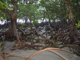 Picture relating to Cape Tribulation - titled 'Cape Tribulation mangroves'