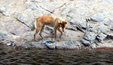 Picture relating to Ormiston Gorge - titled 'Ormiston Gorge - dingo eating a fish'
