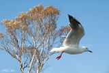 Picture relating to Lake Macquarie - titled 'Beautifull Australian Seagull. Exclusive Photo Art. Lake Macquarie'