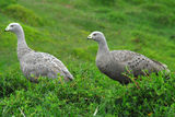 Picture relating to Phillip Island - titled 'Cape Barren geese'
